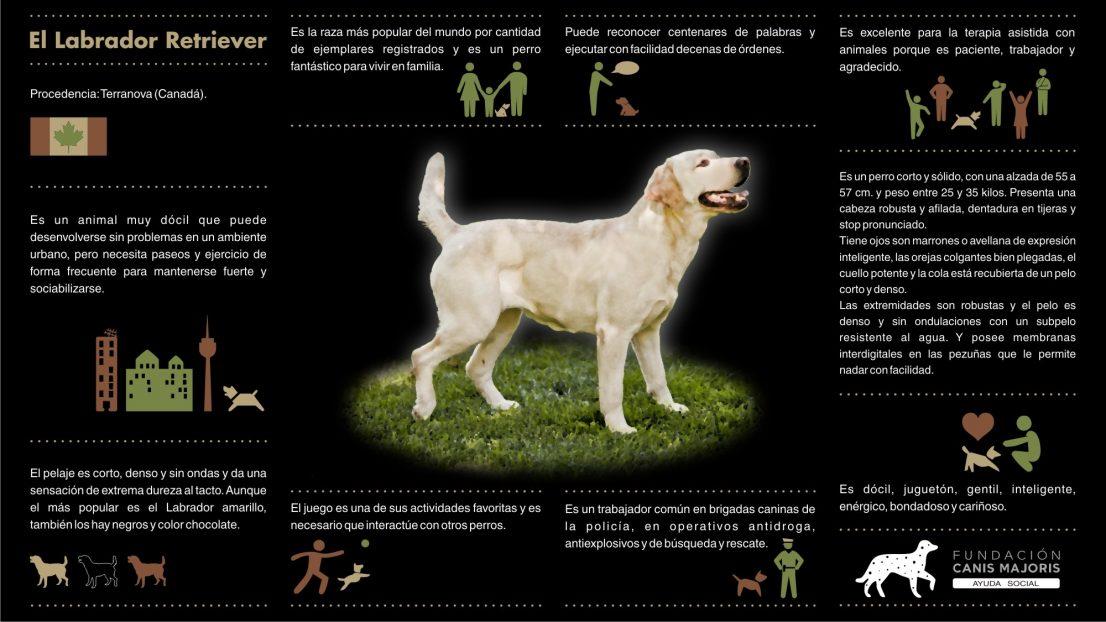 EL Labrador Retriever Infografias Canis Majoris terapia asistida animales